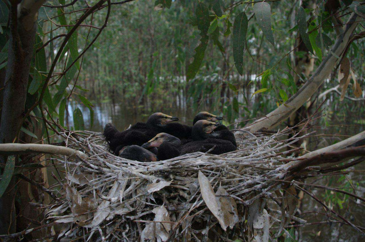 Barmah Forest - Cormorants in nest at War Plain